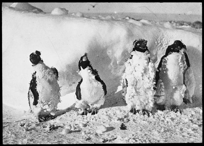 Moulting Adélie penguins affected by blizzard, Cape Denison, 1912. Photographer: Frank Hurley.