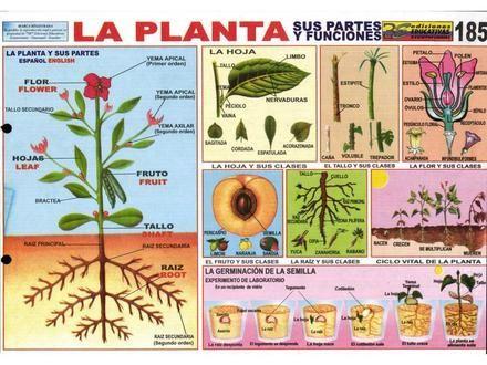 La planta laminas ciencias naturales 5 ciencia animal for Imagenes de las partes del arbol