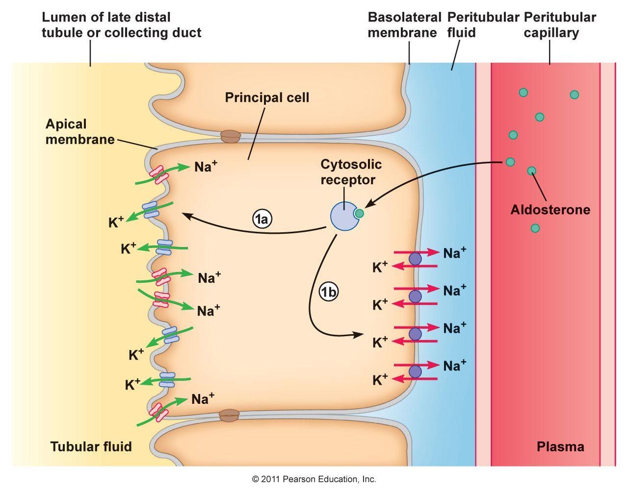 Na k passive transport luminal menbrane na k atpase active na k passive transport luminal menbrane na k atpase active transport pooptronica