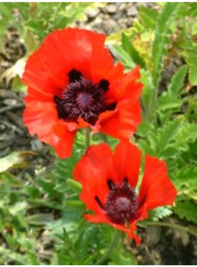 Papaver Orientale Beauty Of Livermere Large Showy Flowers Of Ri