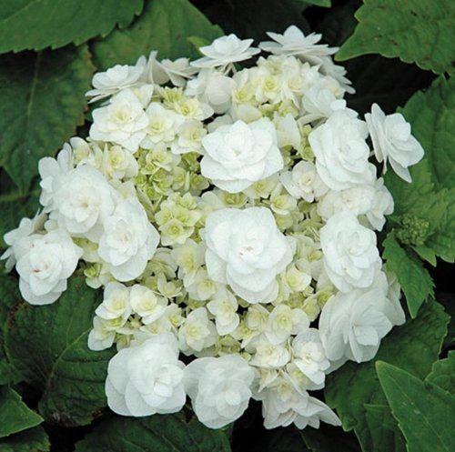 Hydrangea Macrophylla Wedding Gown: WEDDING GOWN A Big-Leaf Hydrangea Variety That Is An