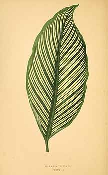 Calathea elliptica (Roscoe) Schumann [as Maranta vittata (K. Koch) Körn.]  / Rothschild, J., Les plantes a feuillage coloré [original ed. E.J. Lowe and W.  Howard, Beautiful leaved plants (1861)], vol. 1: t. 38 (1867)