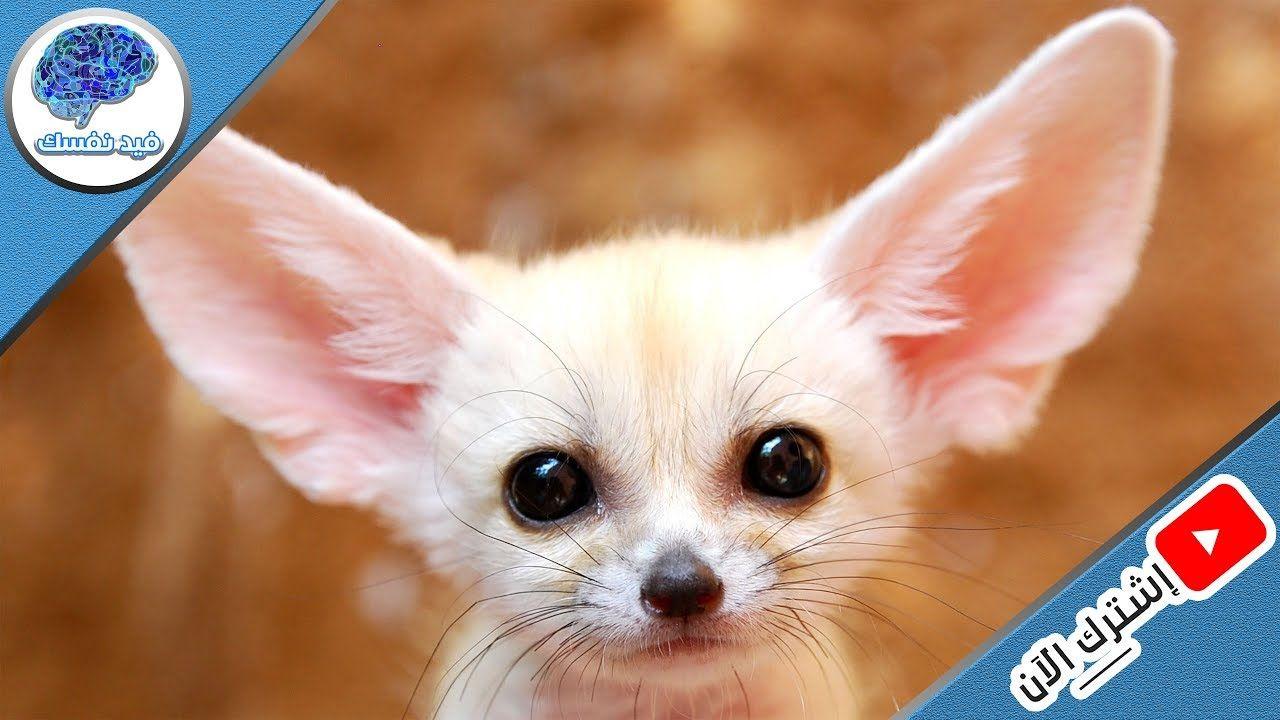 اغرب 10 حيوانات يسمح لك بتربيتهم في البيت قانوني ا Animals Fox