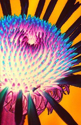 Echinacea - Außerirdisch schön #makrofotoat