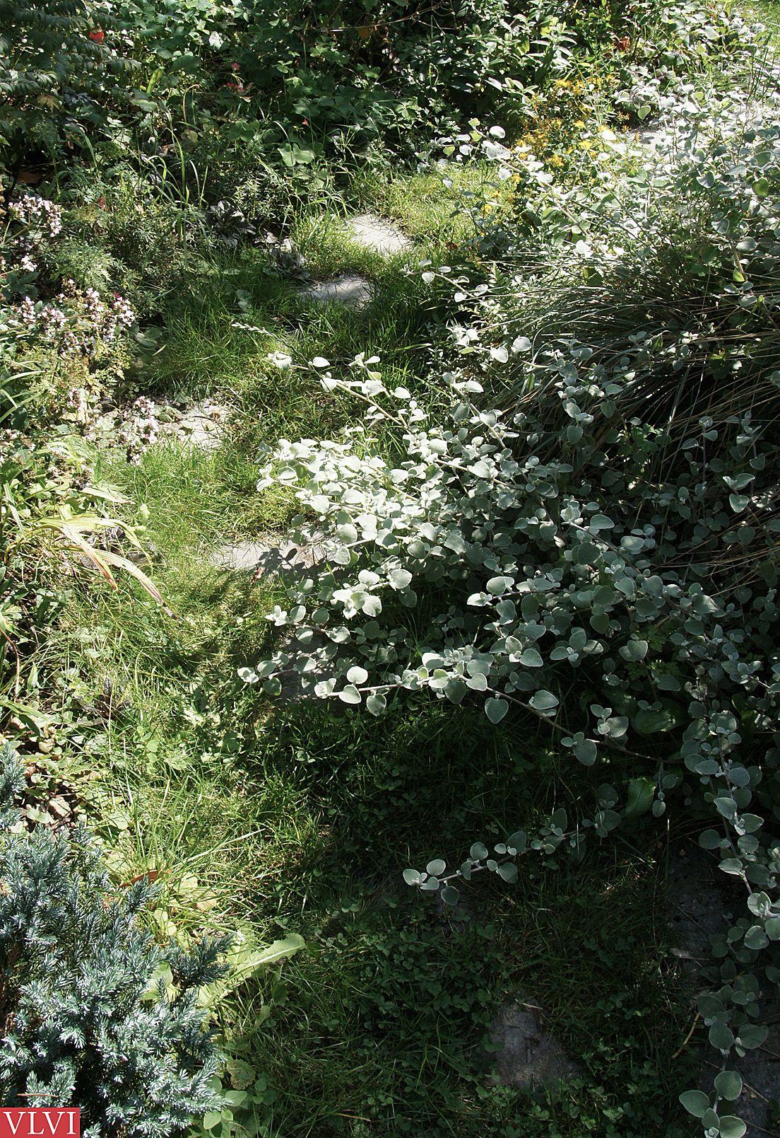 14-09   Als je even niet oplet, veroveren de planten terrein terug. Weg is pad+plan. Mooi, die natuur.