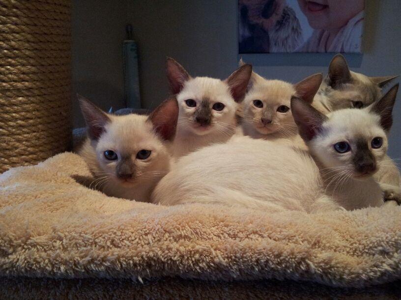 Tonkinese Tonkinese Cat Tonkinese Kittens Tonkinese