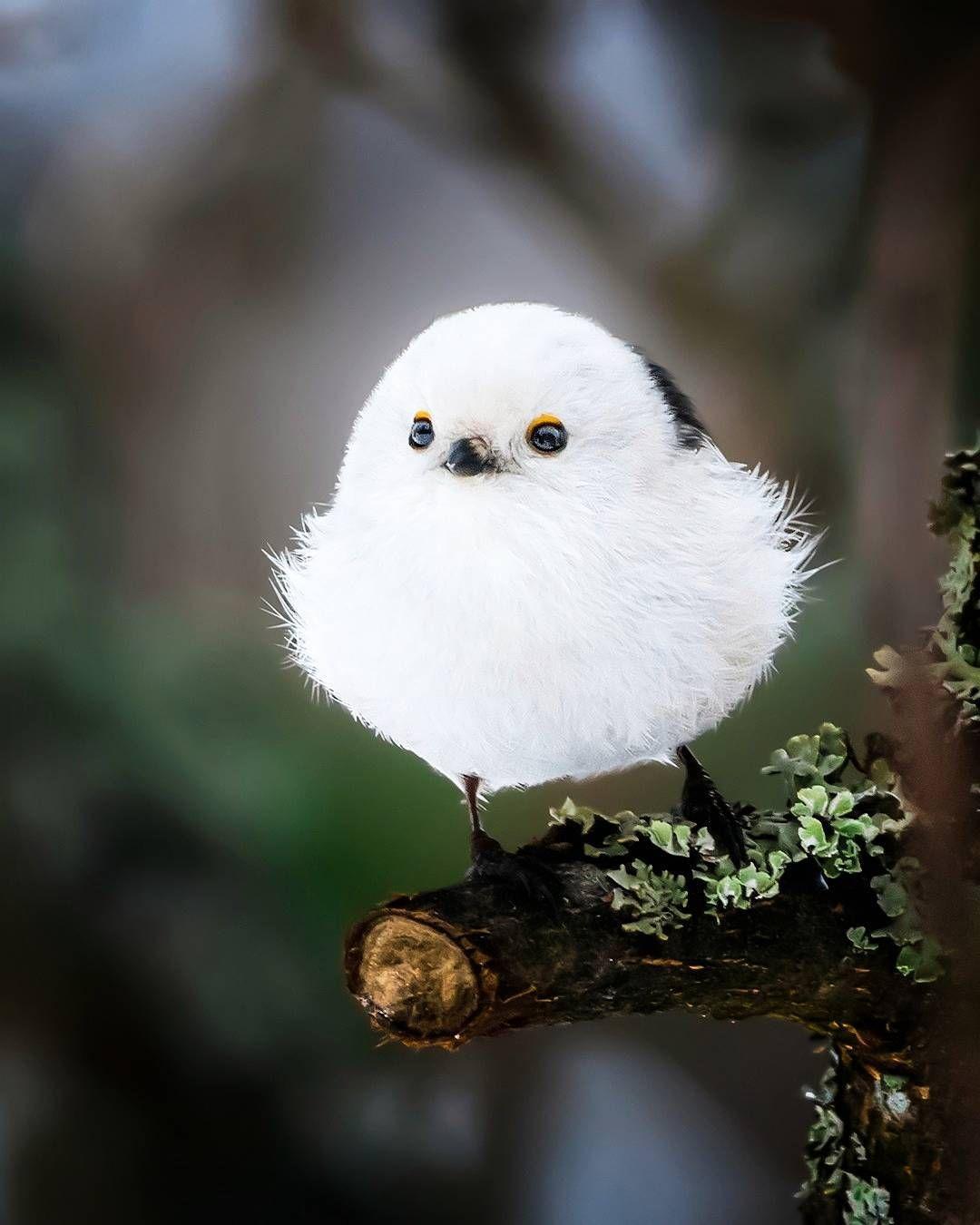 Shima enaga, avecilla de la isla japonesa Hokkaido   Aves ...