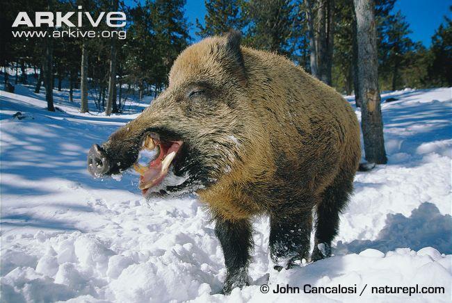 Wild boar photo - Sus scrofa - G80932 | ARKive | wild pig pics ...