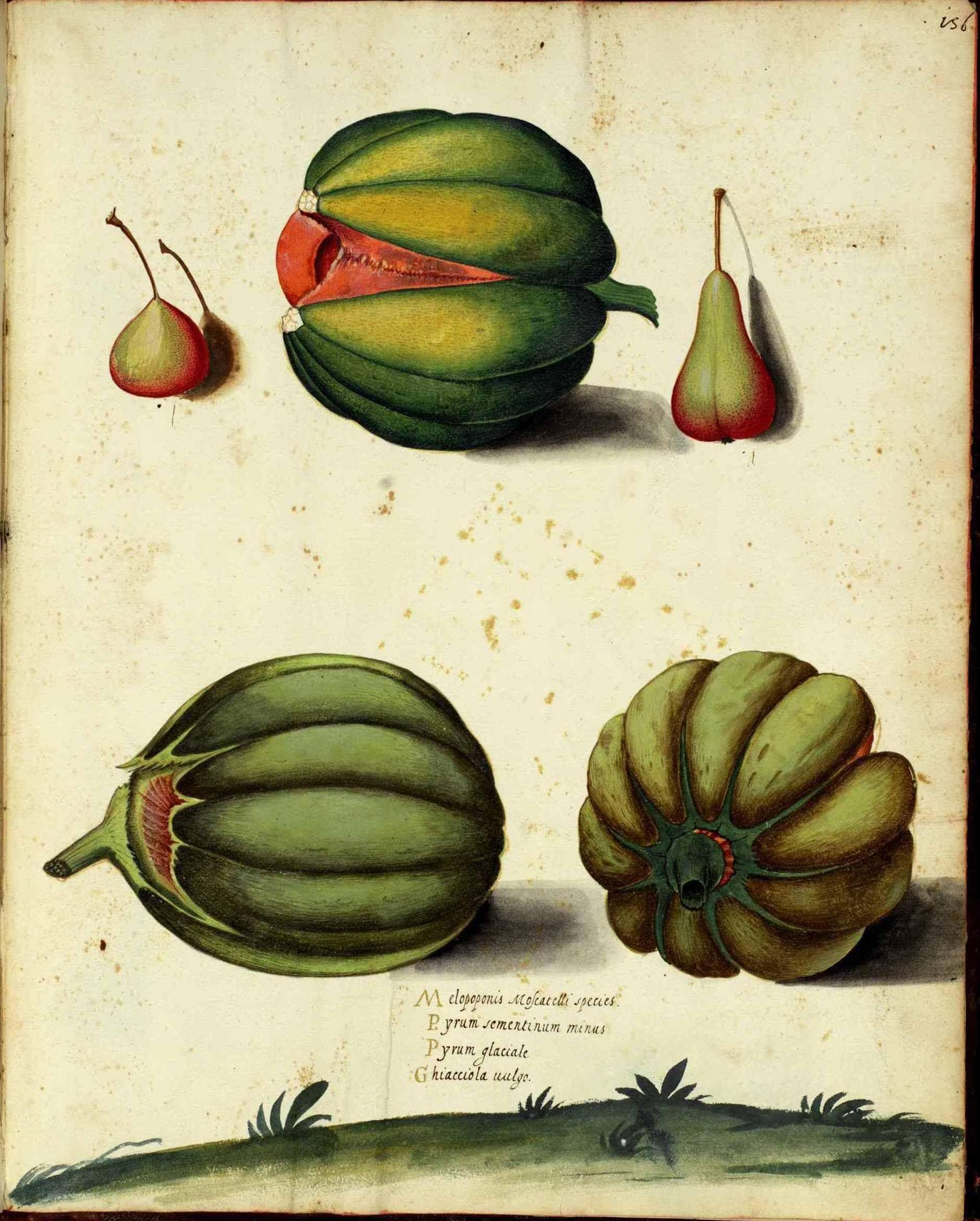 http://vintageprintable.com/wordpress/wp-content/uploads/2010/08/Botanical-Melon-Italian-3.jpg