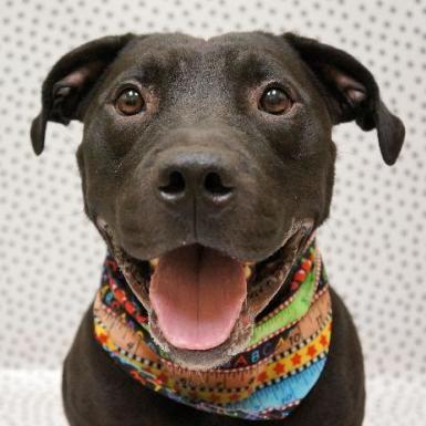 Dog Finder Adopt A Dog Or Cat Near You Dogtime Dog Adoption Pitbull Terrier Dog Finder