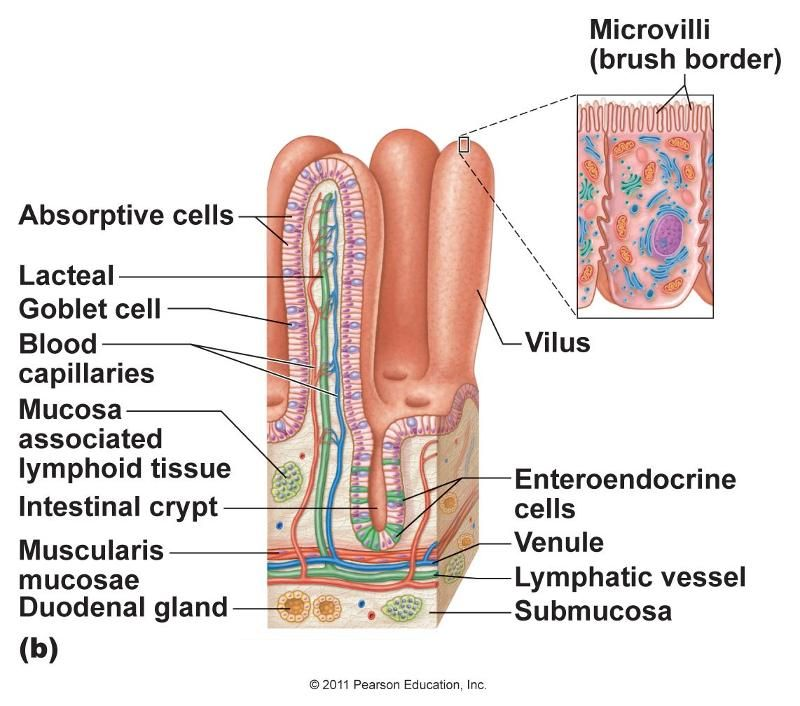 Chapter 22: The Digestive System | physiology | Pinterest