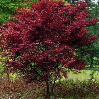 """Red Emperor Japanese Maple - 3 Gallon - 24-30"""" HT - Japanese ..."""