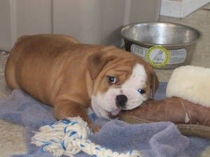 Bulldog Dogs Puppies Puppies For Sale Cute Animals