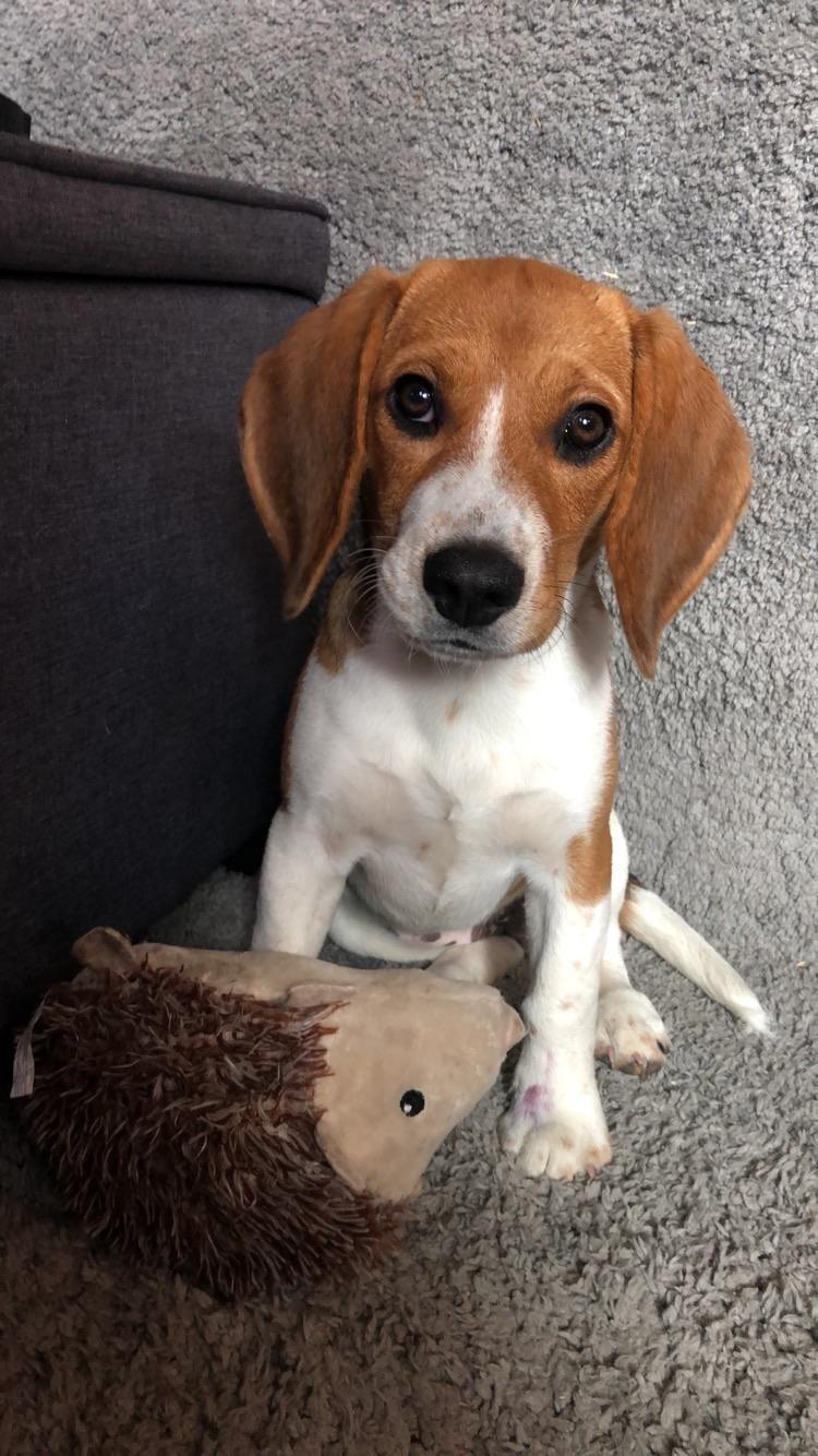 Https I Redd It Ixakrs0uc4j41 Jpg In 2020 Cute Puppies And Kittens Cute Beagles Cute Puppies