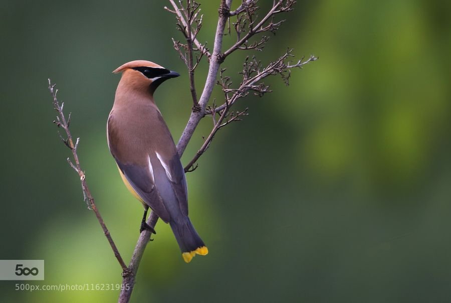 Cedar Waxwing by orionemployee #nature