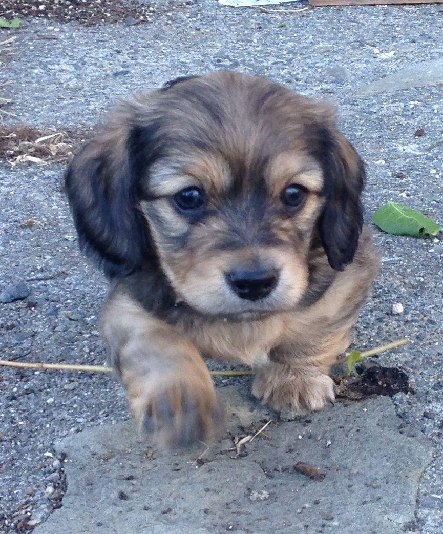 Benson Longhair Shaded Cream Miniature Dachshund Wiener Dog
