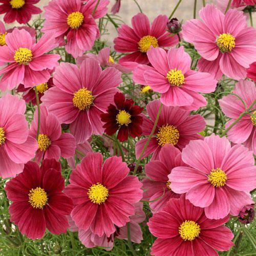 Cosmos Seeds For Sale 36 Varieties Annual Flower Seeds Flower Seeds Cosmos Flowers Annual Flowers