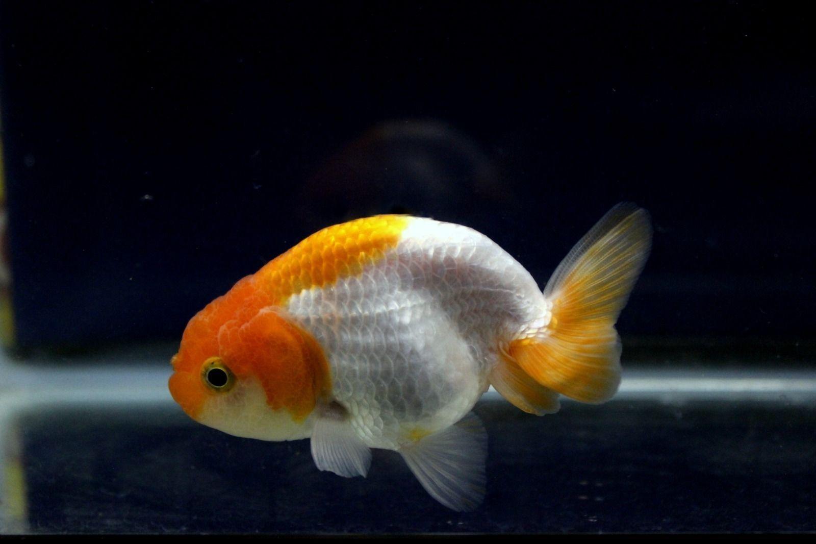 Ranchu Fancy Goldfish Thai Imported Red White Goldfish For Sale Goldfish Fish Pet