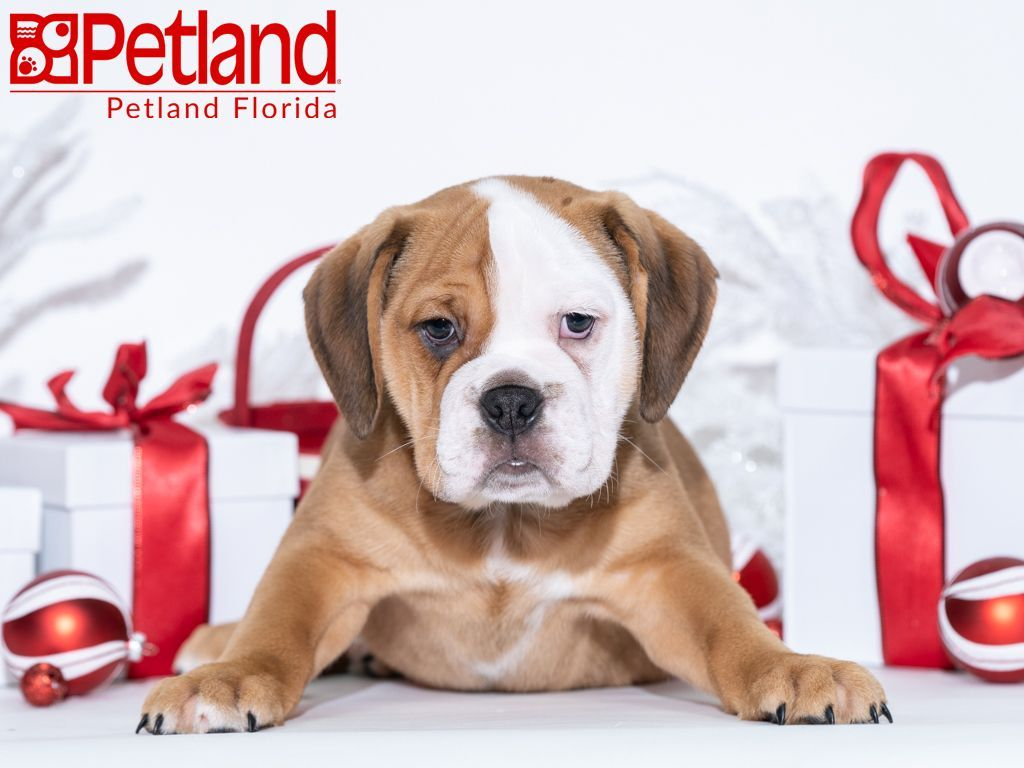 Petland Florida Has Beabull Puppies For Sale Check Out All Our