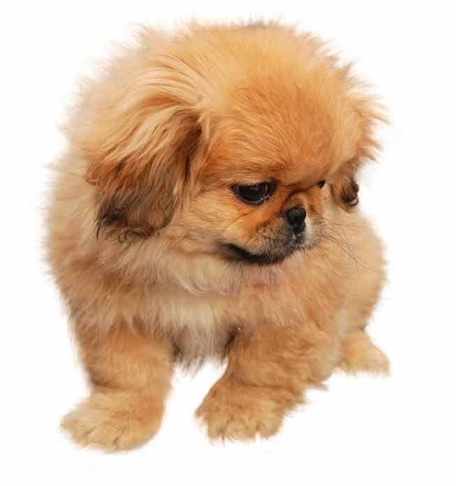 When Do Pekingese Puppies Open Their Eyes Pekingese Puppies Pekingese Puppies