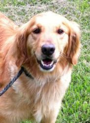 Adopt Lizze On Dogs Golden Retriever Adoption Flat Coated