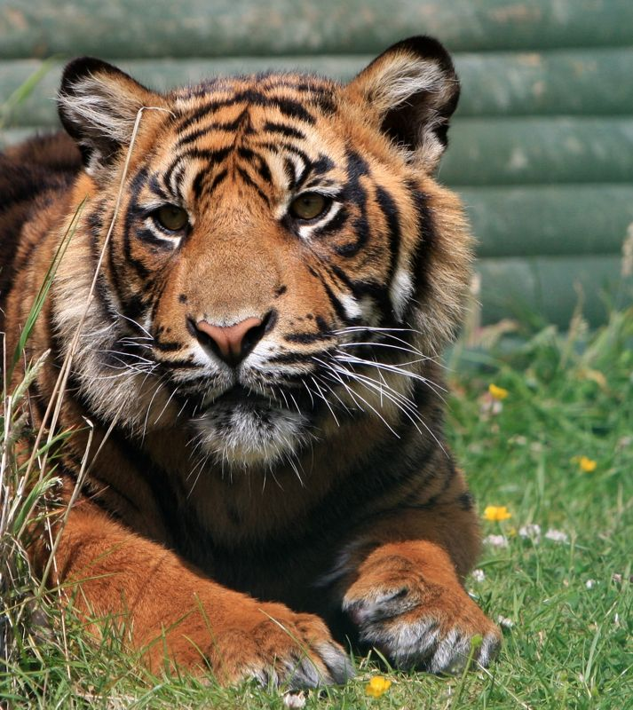 Lions and Tigers and Bears… Oh my! Big cat habitat