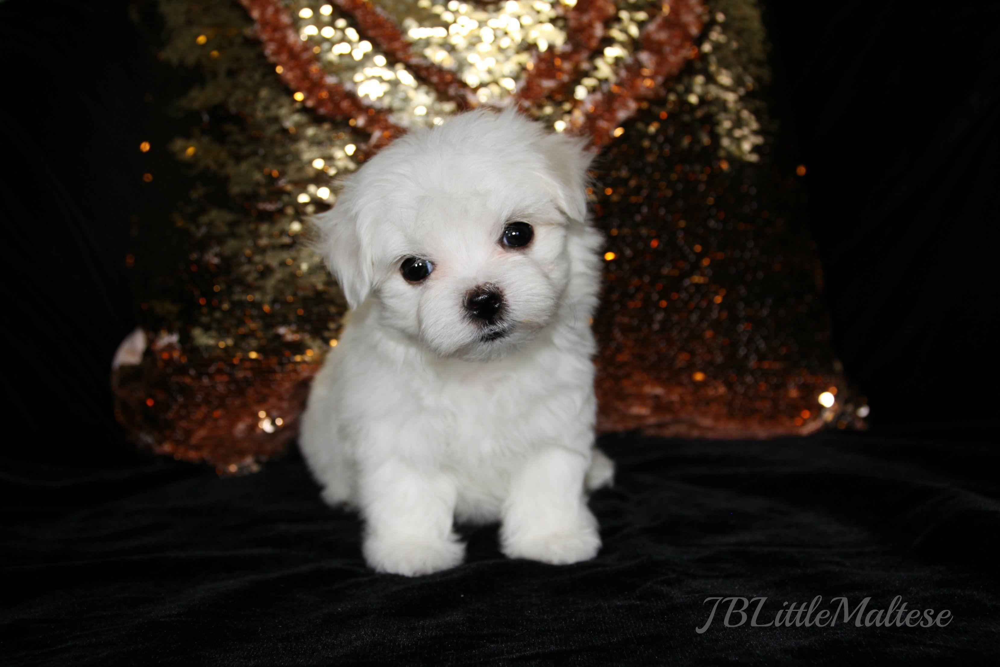 Maltese puppy of JBLittleMaltese Reg'd - www.jblittlemaltese.com  Home of top show dogs, purebred Maltese from our Champions!