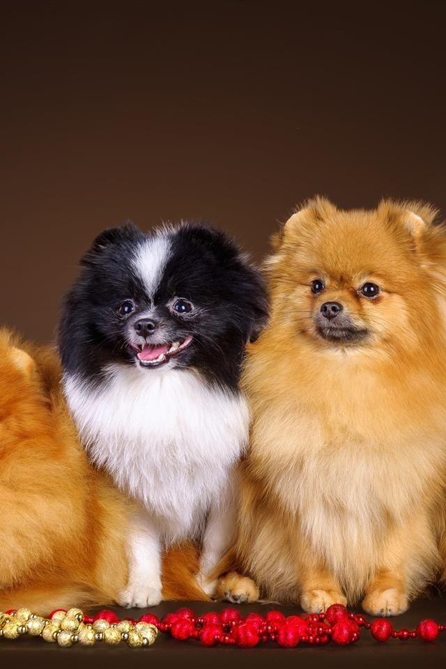 Fancy Pommies Dogs Pets Pomeranians Blackparti Orange