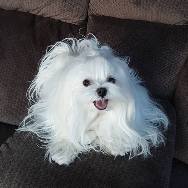 So Beautiful Maltese Maltese Puppy Maltese Maltese Dogs