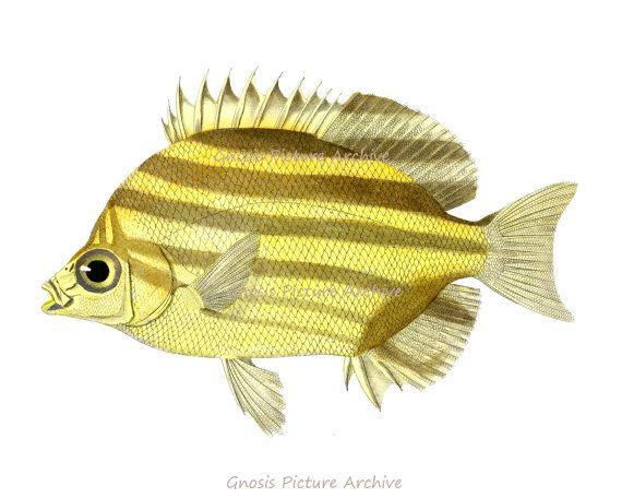 Antique Fish Print No.3 brown yellow Stripe Tropical coral reef fish ...