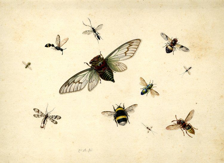 /\ /\ . Study of insects including a bee, and various flies Watercolour and bodycolour, strengthened with gum . Herman Henstenburg 1682-1726