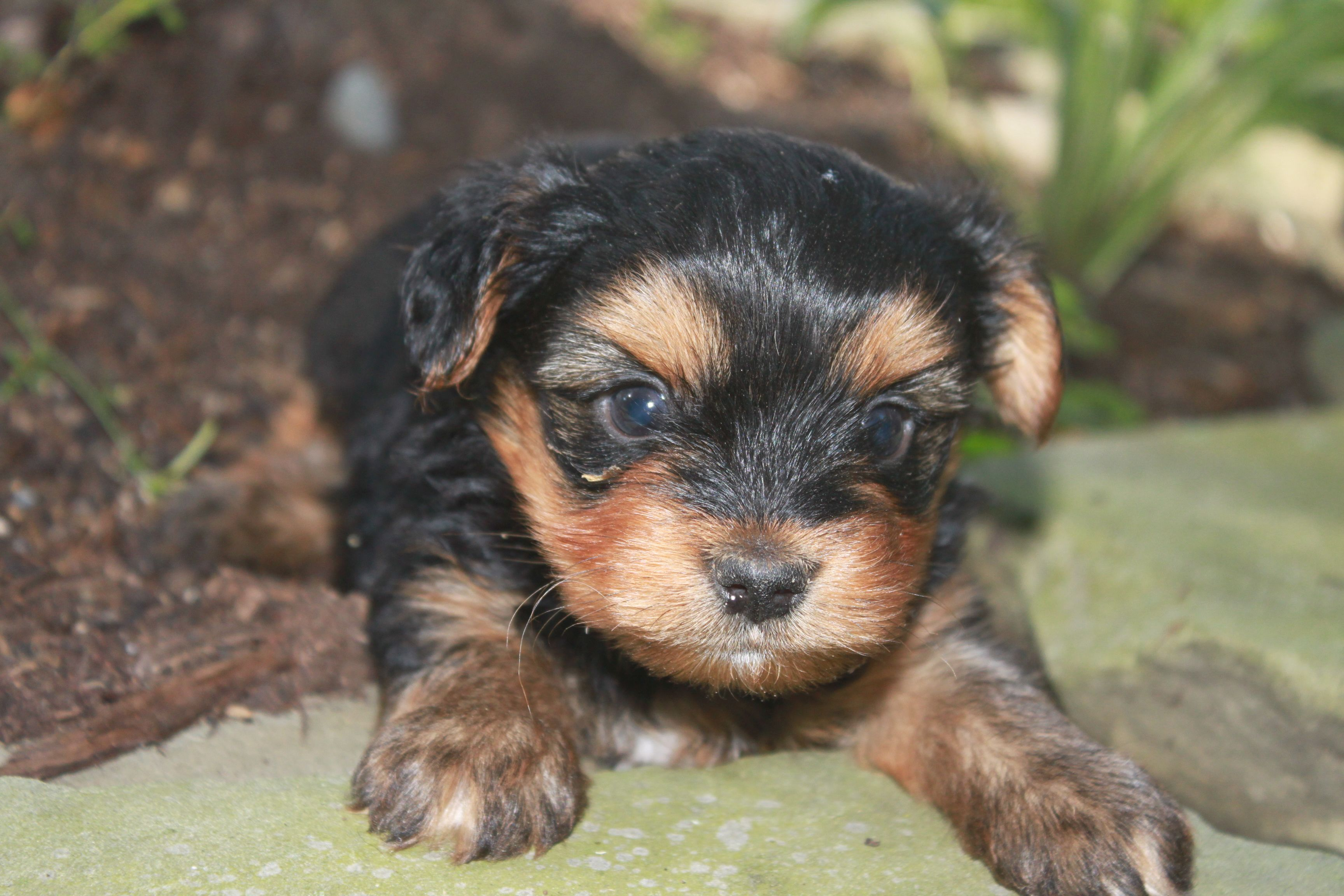 Female yorkie just uploaded to