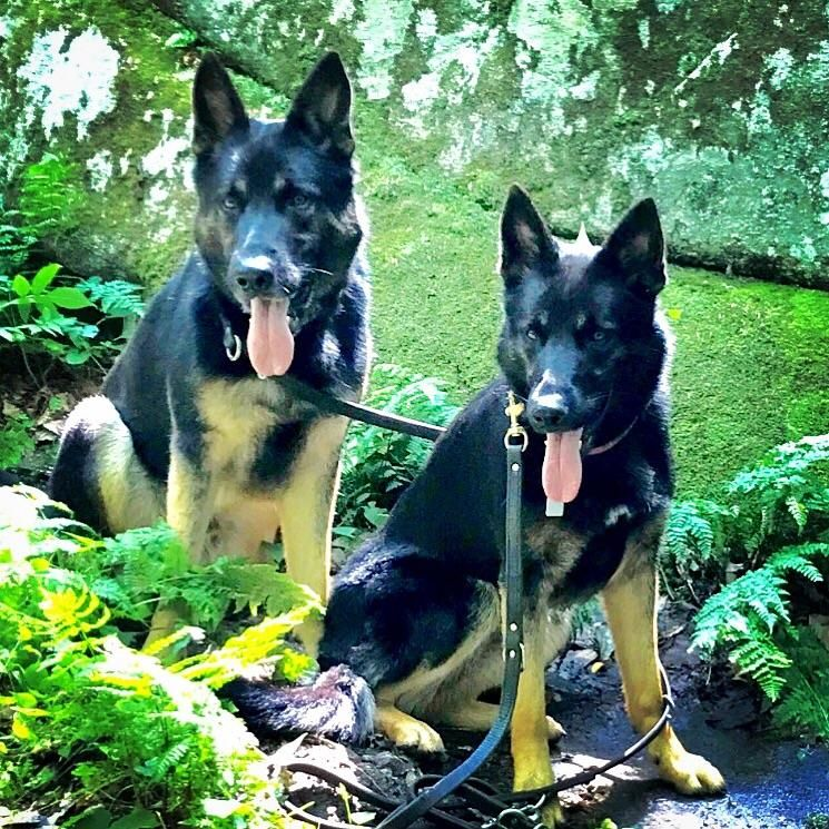 Hiking at Letchworth State Park NY German shepherd