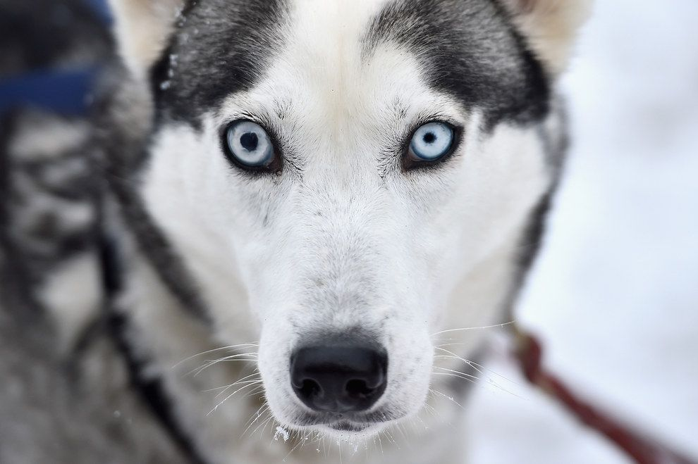 17 Pictures Of Scotland Looking Like Siberia As Husky Dogs Train
