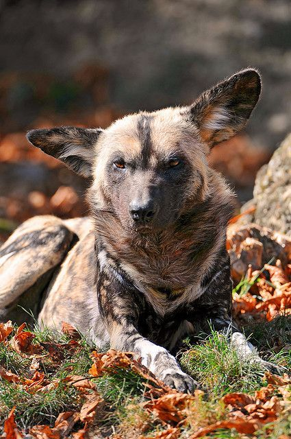 African Wild Dogs Require Ranges To Support Viable Populations Recent Habitat Fragmentation Has Caused A Population D African Wild Dog Wild Dogs Animals Wild