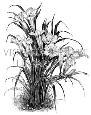 Freesia. Download high quality jpeg for just £5. Perfect for framing, logos, letterheads, and greetings cards.