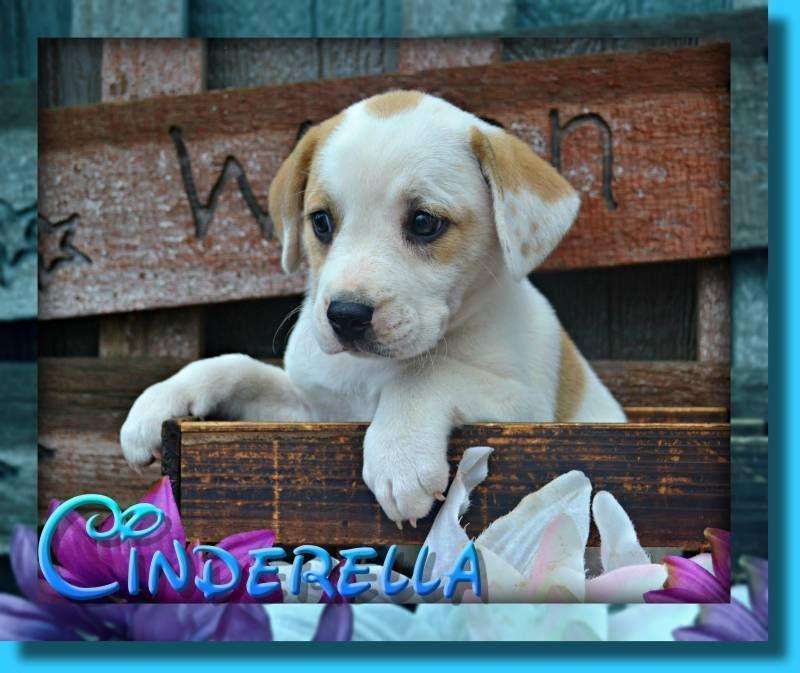 Cinderella Female English Bulldog Mix 300 With Images English Bulldog Puggle Puppies For Sale Bulldog