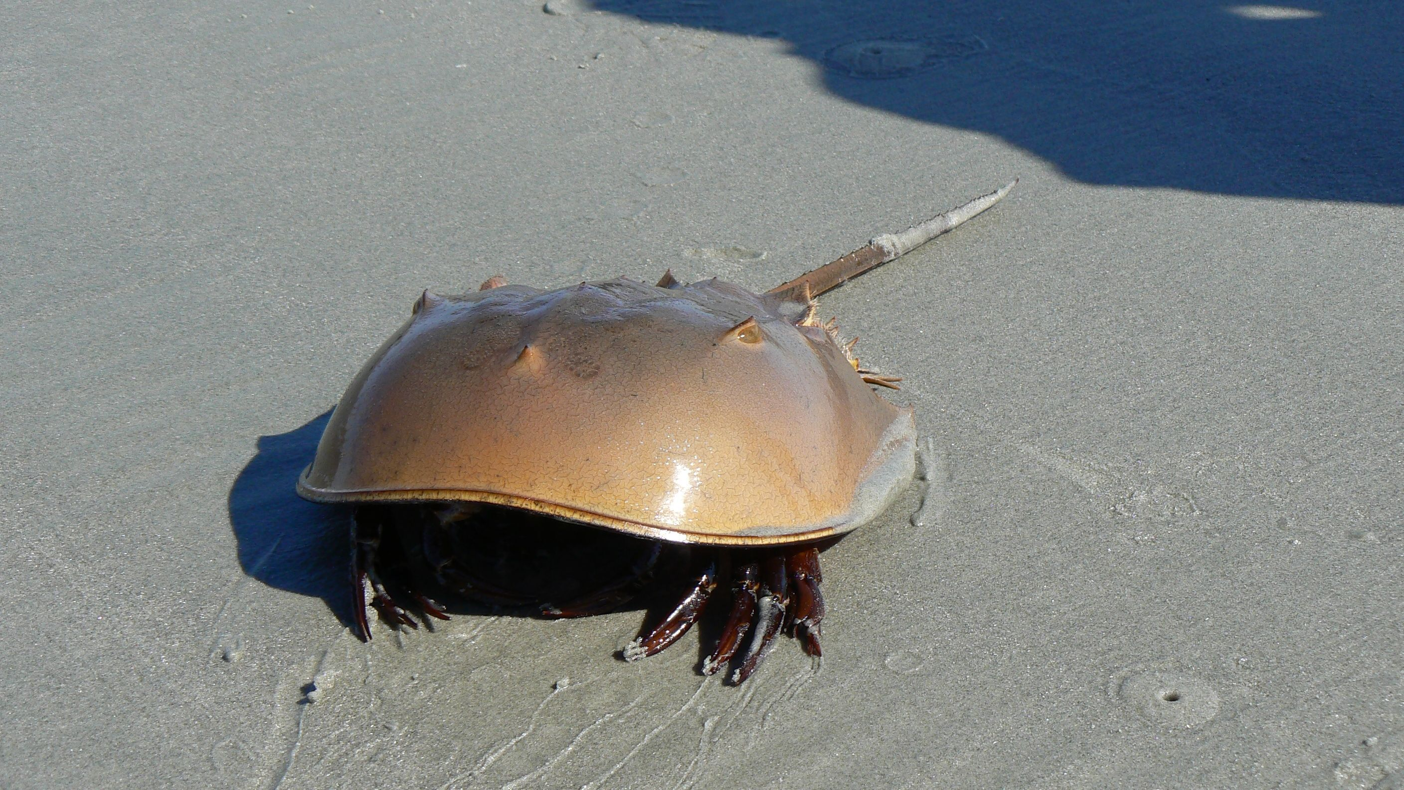 Horseshoe Crab Wildbook Horseshoe Crab Crab Marine Animals