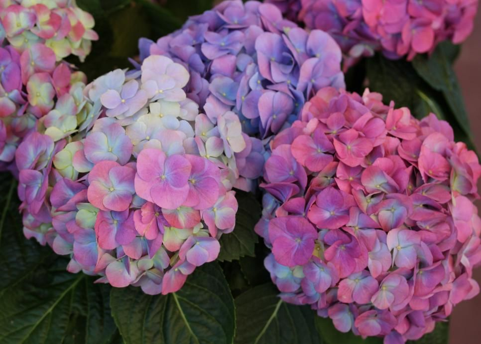 Hydrangeas Unique And Classic Varieties Hydrangea Colors Hydrangea Varieties Hydrangea Color Change