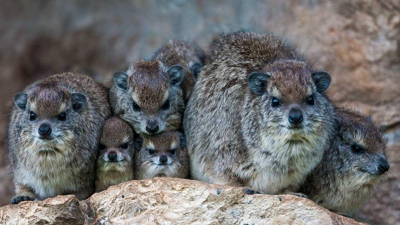 Bush hyrax colony in the Mara North Conservancy, Kenya ...