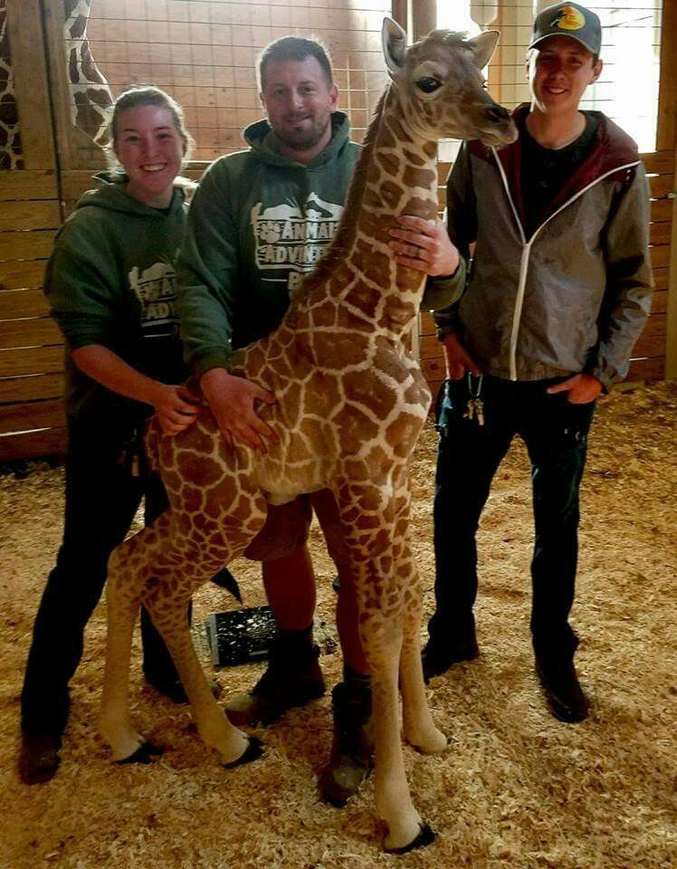 Weighing Baby Giraffe : weighing, giraffe, April's, April,, Weighing, Pounds, Inches, Tall., Oliver,, Watched, Adjo…, Animal, Adventure, Park,, Giraffe,, Animals