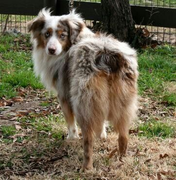 Male Mini Australian Shepherd Red Merle Blue Eyed Dog Handsome Dog