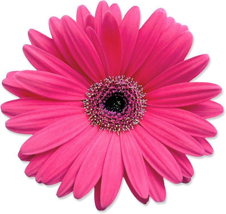 Pink Gerbera Gerber Daisy Flower Stickers Sticker By Wasootch Pink Gerbera Floral Stickers Pink Gerber Daisy