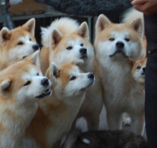 柴犬 秋田犬