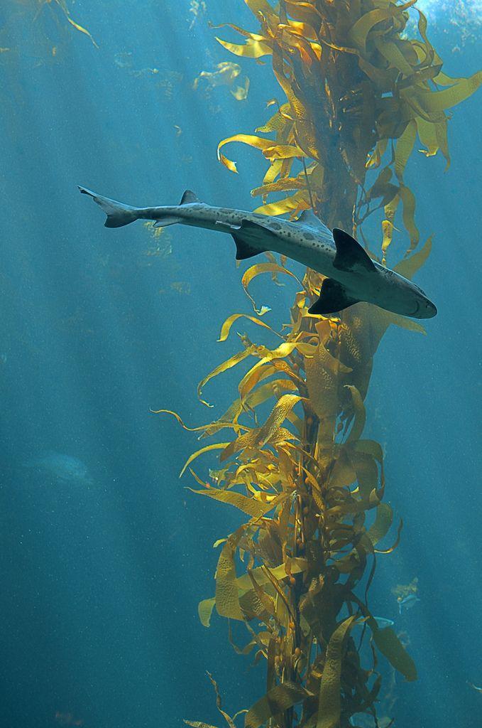 Cruisin' the Kelp Forest II | Flickr - Photo Sharing!