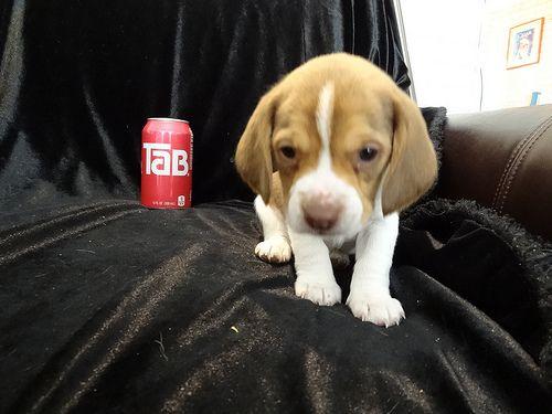 Queen Elizabeth Pocket Beagle Puppy Beagle Puppy Pocket Beagle Puppies Beagle Dog
