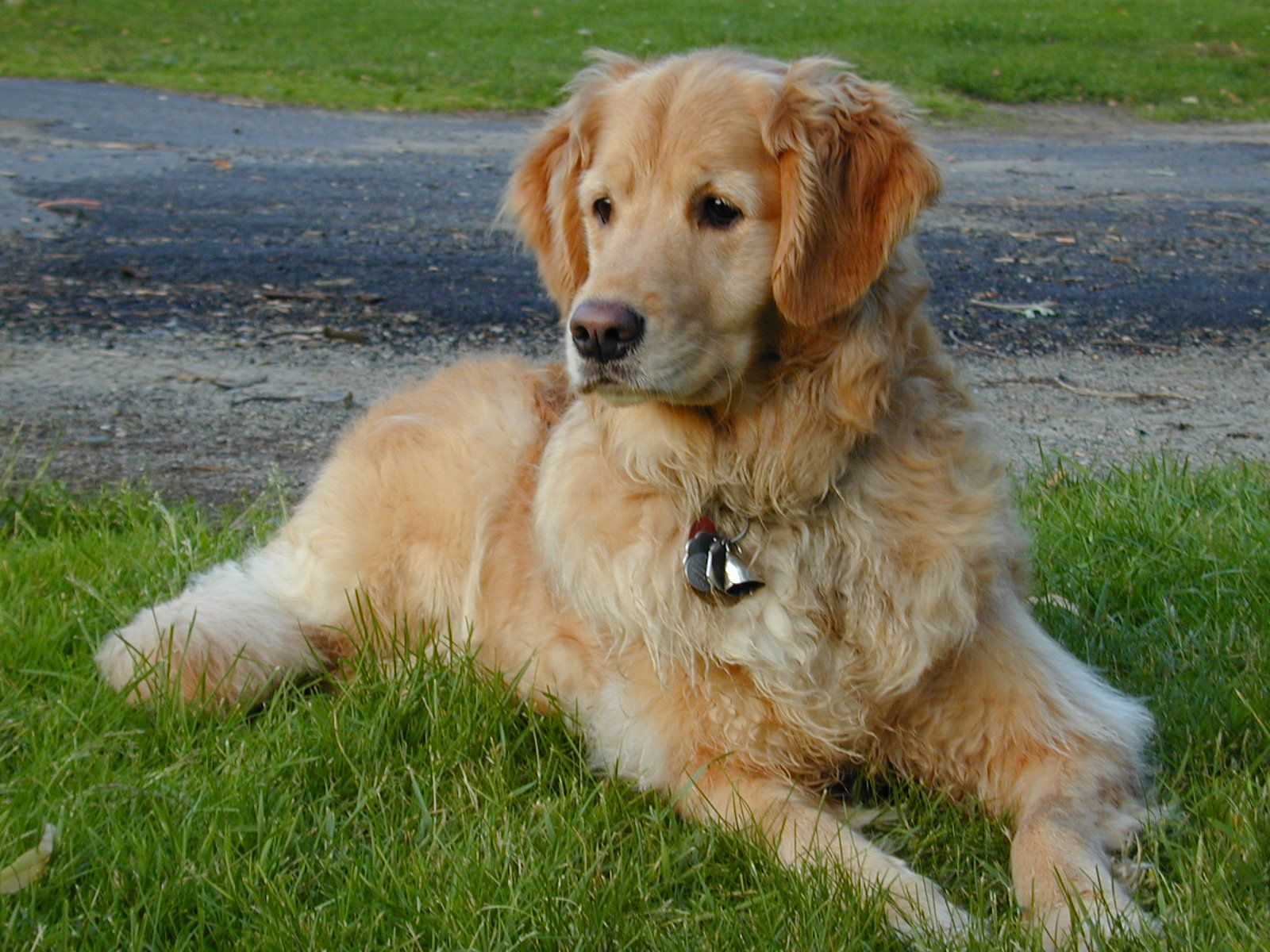 Golden Retriever Pics Of Our Dog Jesse A Very Talented And