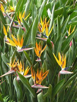 Tropical Orange Bird Of Paradise Strelitzia Reginae California Palm Nursery