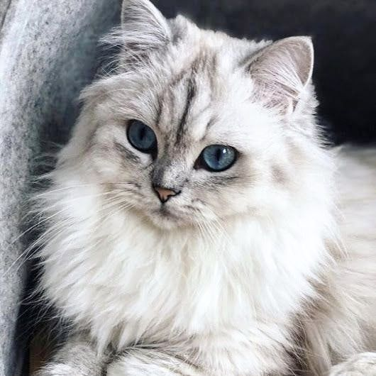 The White Beauty From Unknown Follow Us Cats King Double Tap Comment Tag Your Frien Katzenrassen Katzen Susseste Haustiere