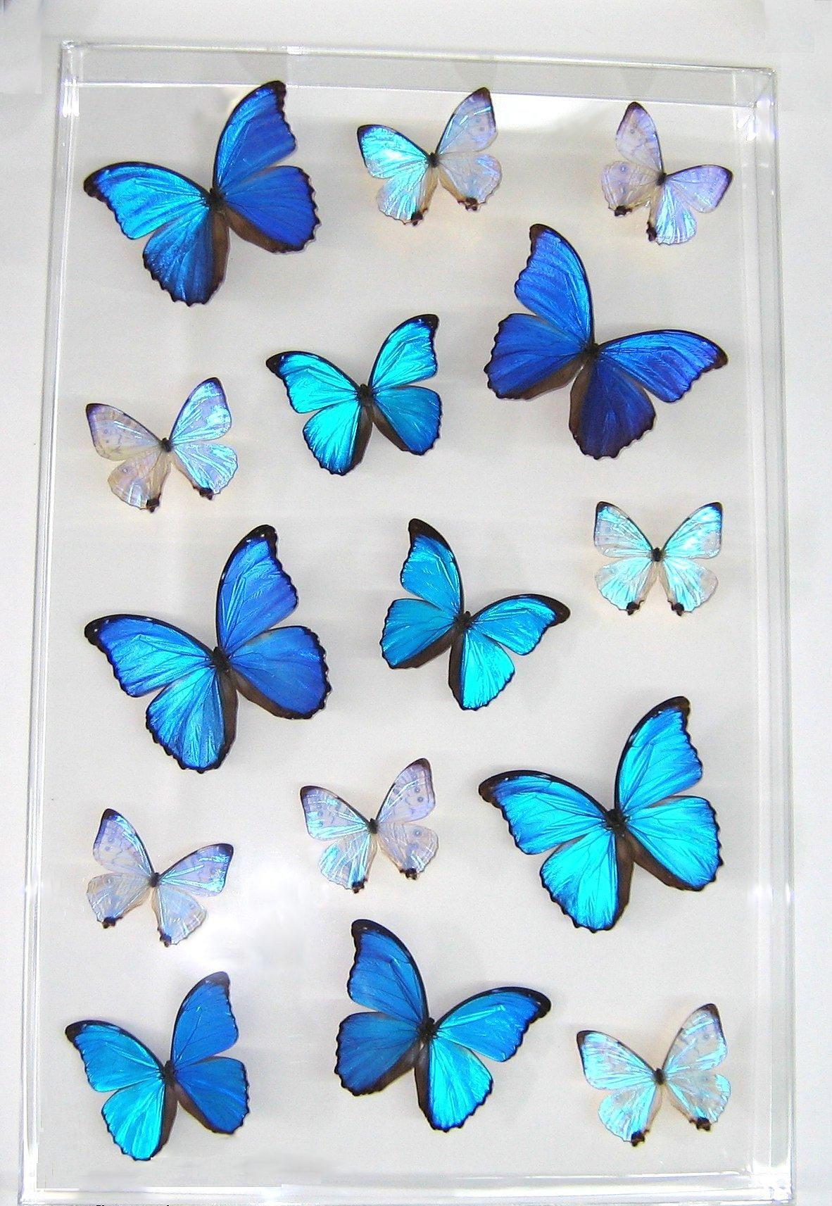 Blue Butterfly Gifts & Merchandise | Redbubble
